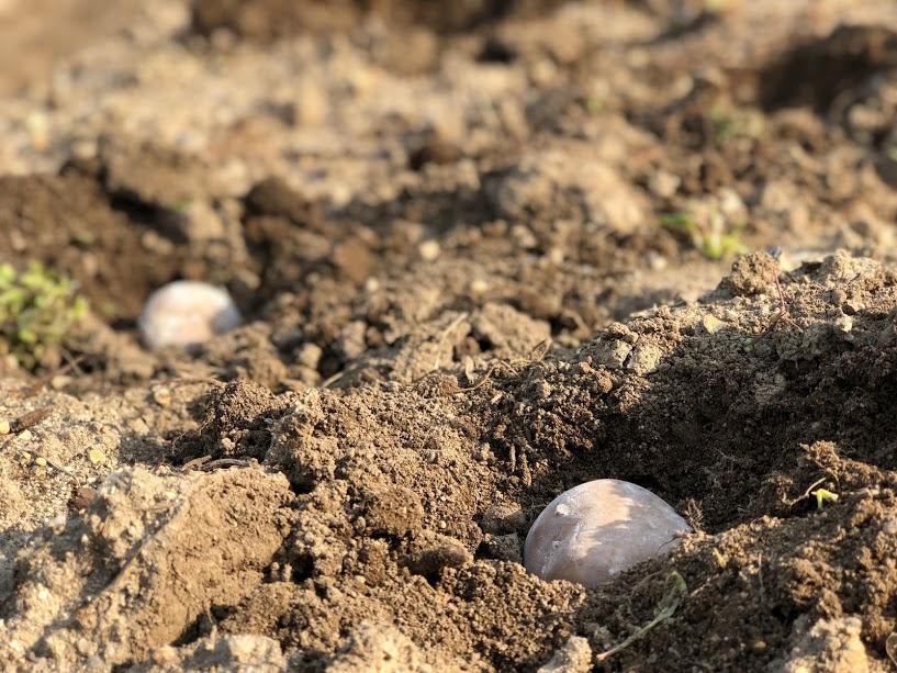 ジャガイモ植える